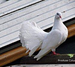 Produse Columbofile – pentru performanta porumbeilor voiajori